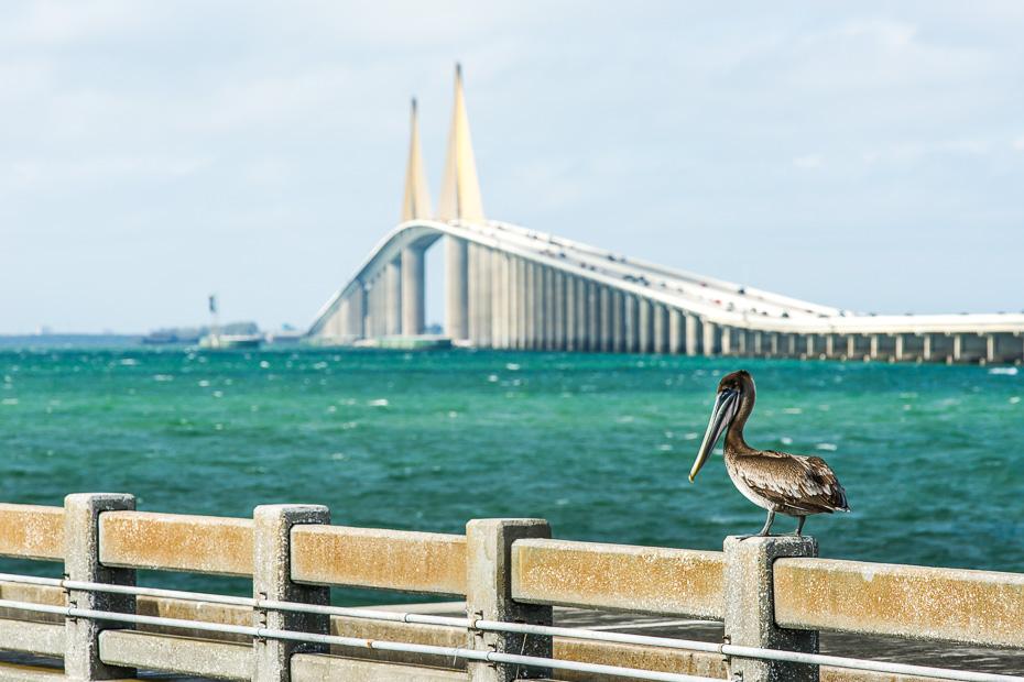 pelikāni florida tampa sunshine skyway tilts makšķernieki asv amerika