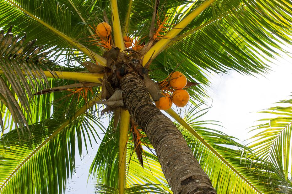 palmas kokosrieksti seišelas dienvidi tropi indijas okeāns