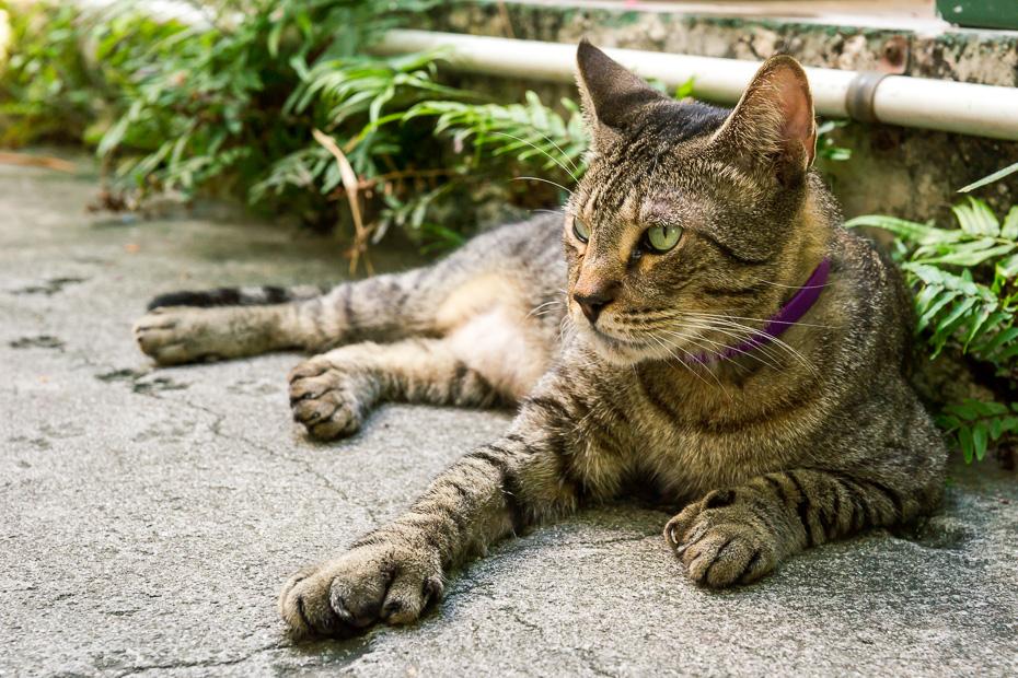 polidaktils kaķis hemingvejs florida floridakīza asv amerika rodatrip kuba muzejs