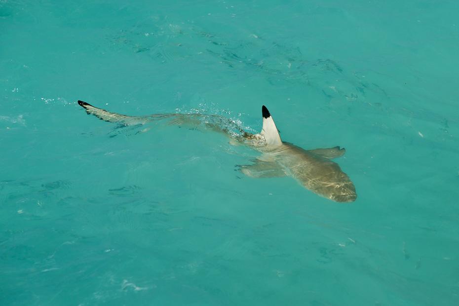 haizivs spura maldīvija maldīvas daivings zemūdens padi aowd owd