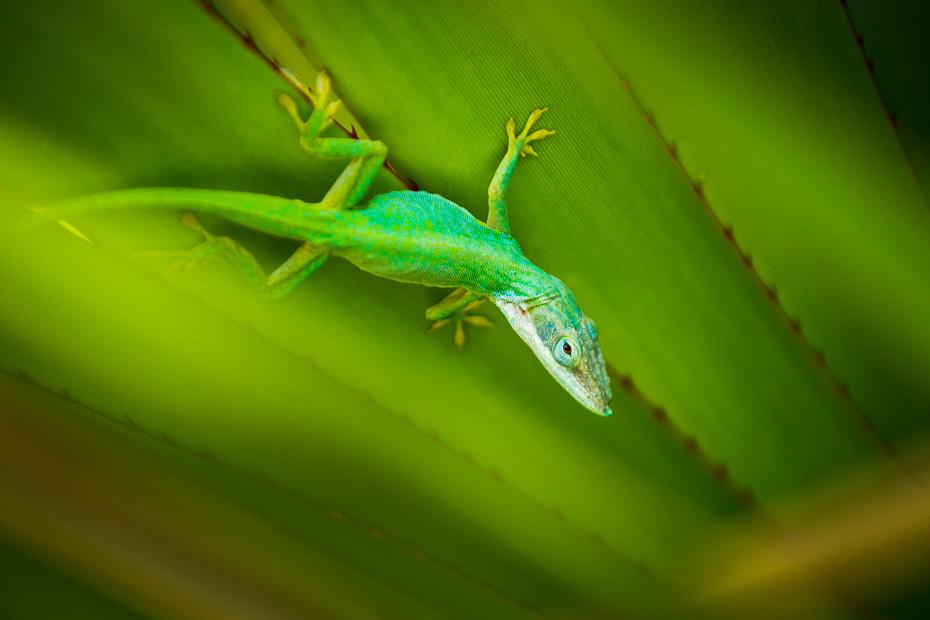 ķirzaka kuba makro palmas tuvumā gekons anolis Anolis allisoni zila zaļa