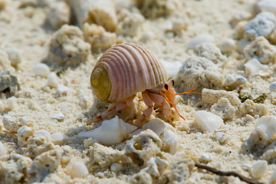 hermītkrabis maldīvija indijas okeāns gliemežvāks