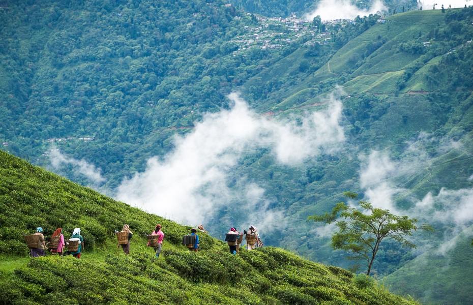 tējas plantācija himalaji indija
