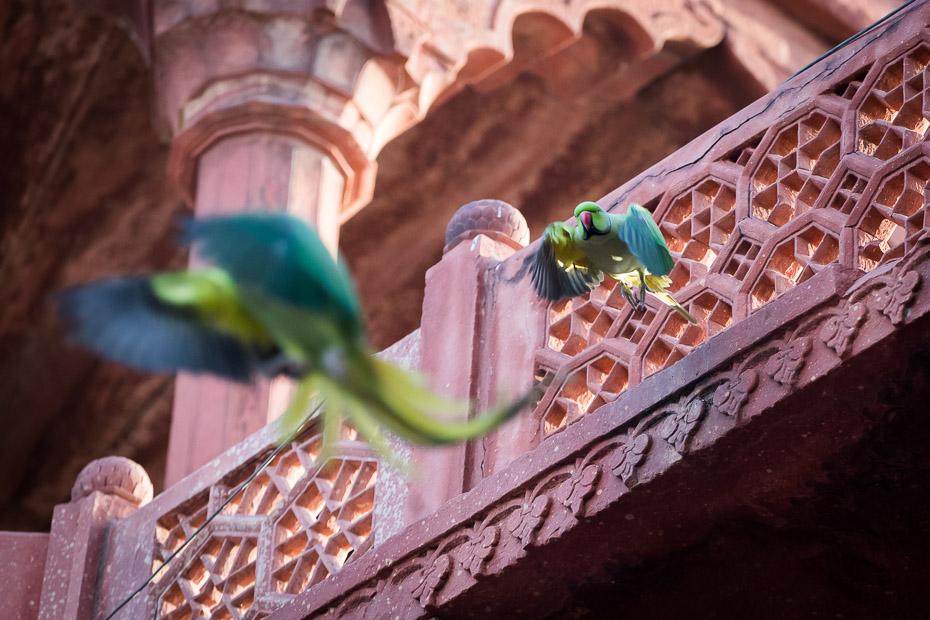 papagaiļi indija tadžmahāls