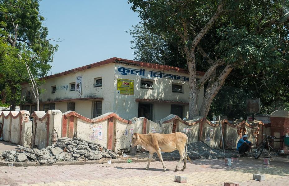 svētās klaiņojošas govis indija āgra