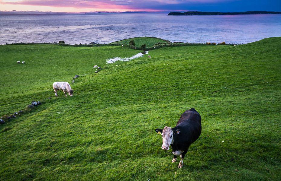 īru govis ziemeļīrijā