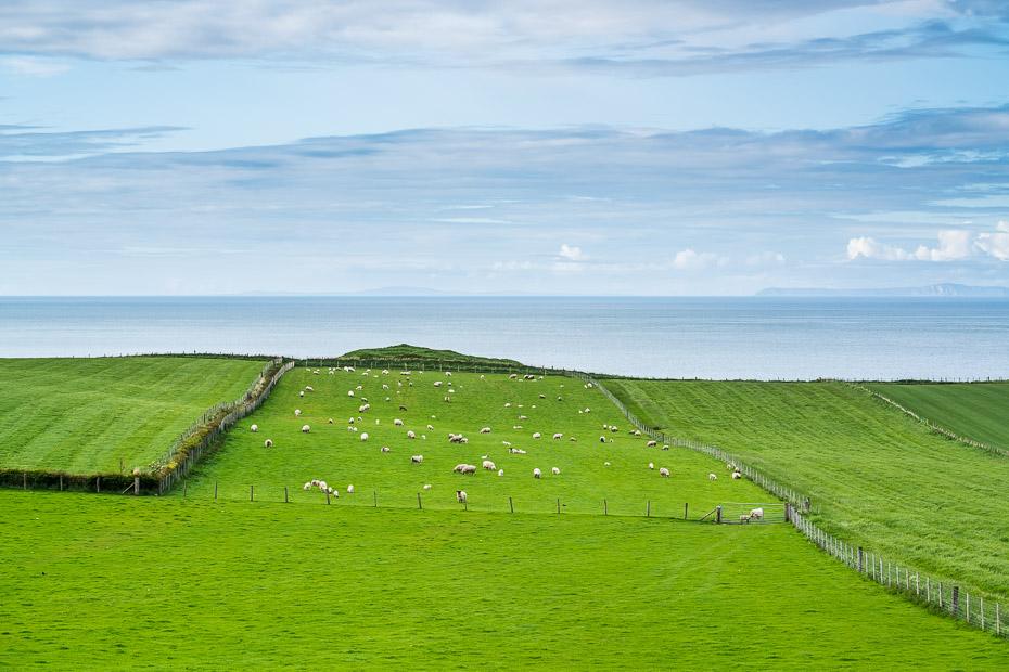 ziemeļīrijas pļavas ar aitām