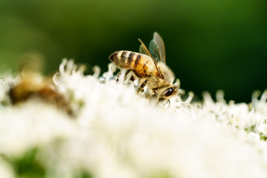 bites latvāņos