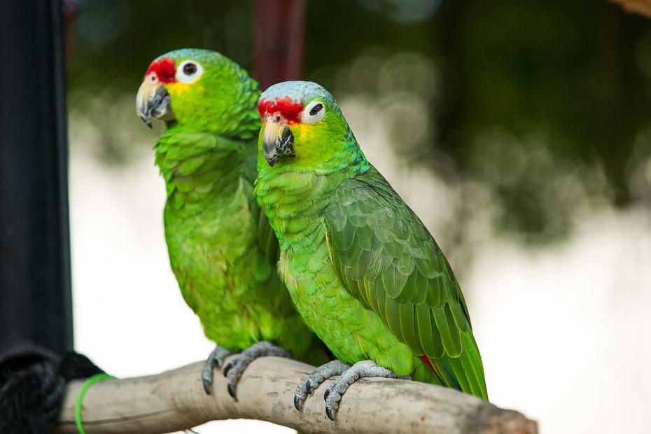 floridas papagaiļi