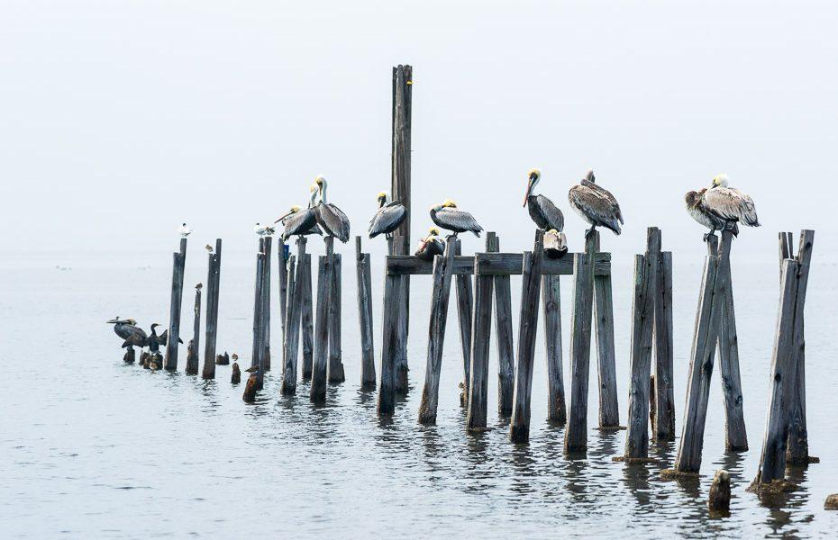 pelikāni floridā