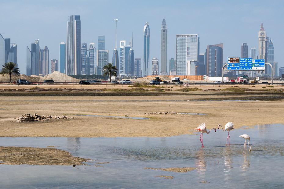 ras al khar rezervats dubaija flamingo