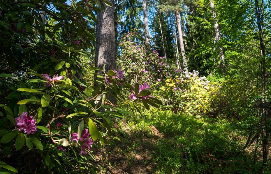igora medņa rododendru audzētava