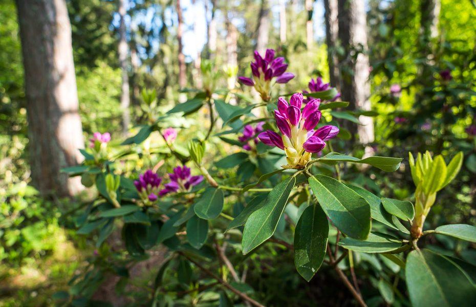 rododendri pumpuros
