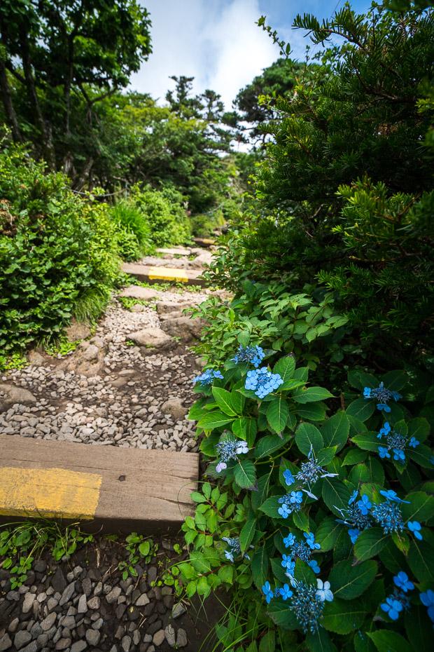 Zilas hortenzijas