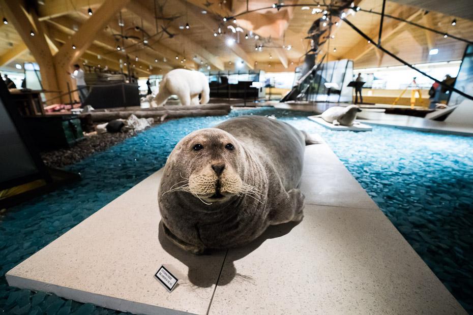 dzīvnieki ziemeļos roņi