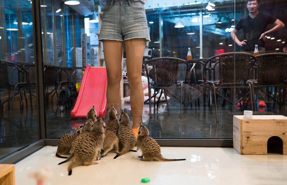 Neparastākā dzīvnieku kafejnīca pasaulē – surikātu kafejnīca Seulā