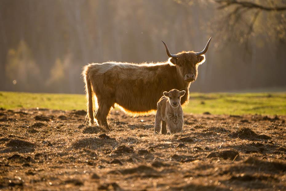Dvietes paliene savvaļas govis un zirgi pavasarī
