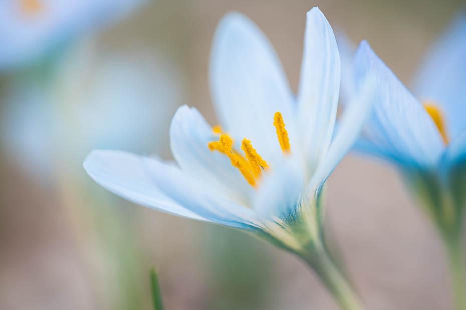 Jaunrūjas gaiši zilais krokuss