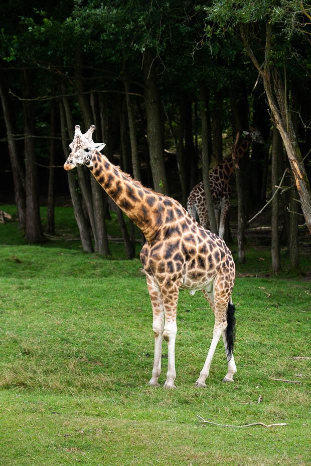 Dvůr Králové žirafes safari parkā