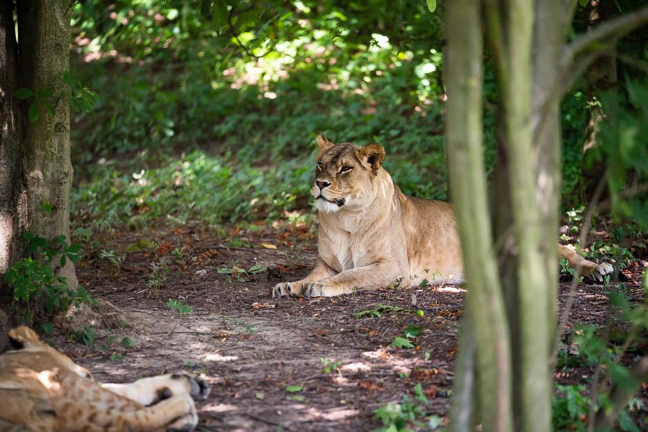 lauvu safari Dvůr Králové