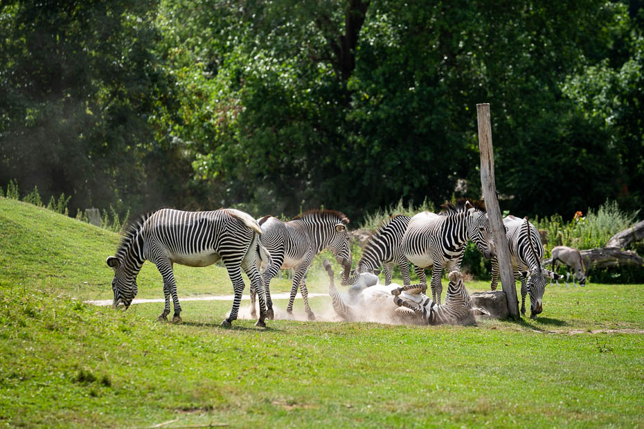 zebras safari parkā Čehijā