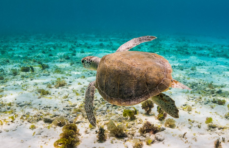 bruņurupucis snorkelēt peldēties pludmale klein curacao