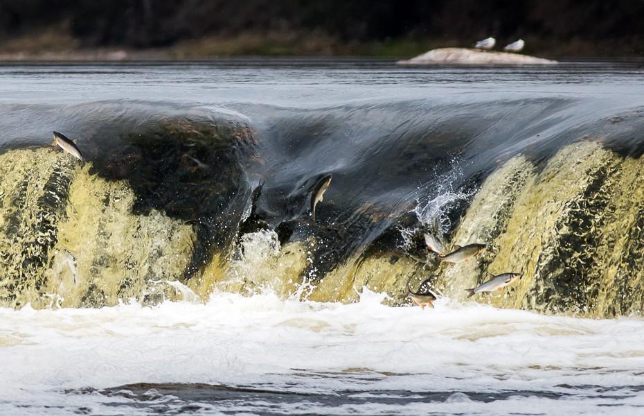 lidojošās zivis vimbas kuldīga pavasaris