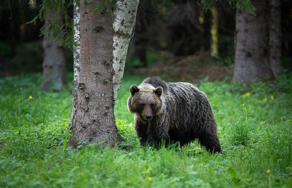 Brūno lāču vērošana savvaļā Igaunijā