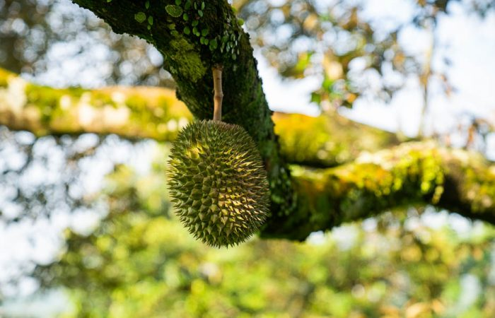Kā mēs pirmo reizi ēdām durianus Malaizijā
